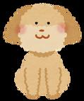 toypoodle_cream