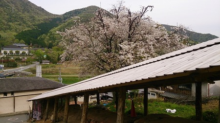 最古の登り窯と山桜