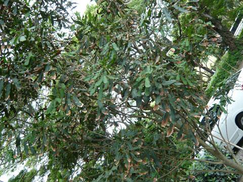 エビ釣りツアー マカデミアンナッツの木
