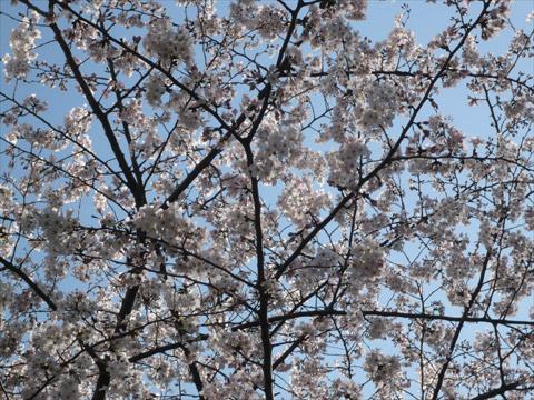 桜 新宿中央公園3