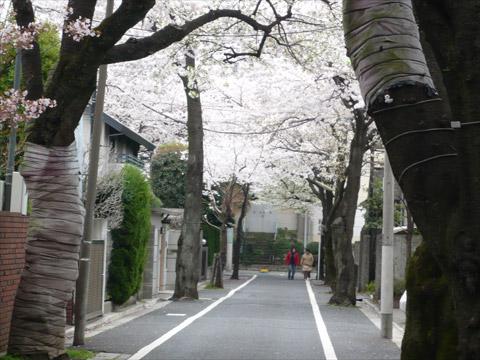 成城 桜保存樹