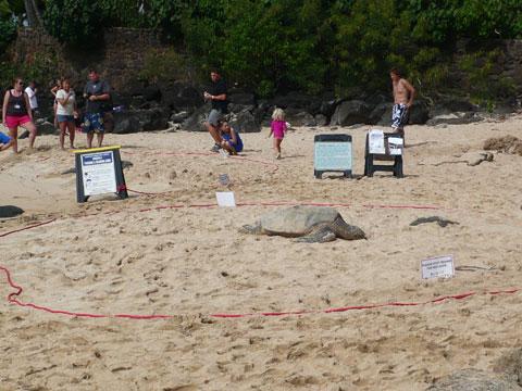 ラニアケアビーチ カメは土俵の中に・・・