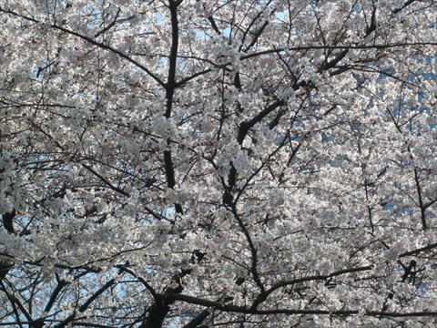 桜 新宿中央公園2