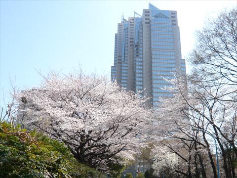 桜 新宿中央公園