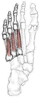 底側骨間筋の絵