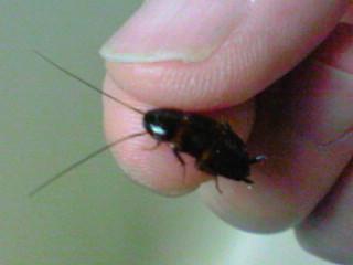 クロゴキブリの子供  谷口高司:タマシギ♂のいきいき日記