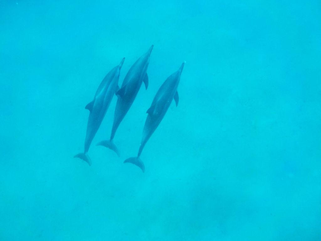 ハワイでイルカと一緒に泳ぐ最後のチャンス!「イルカ大学」に参加してきた