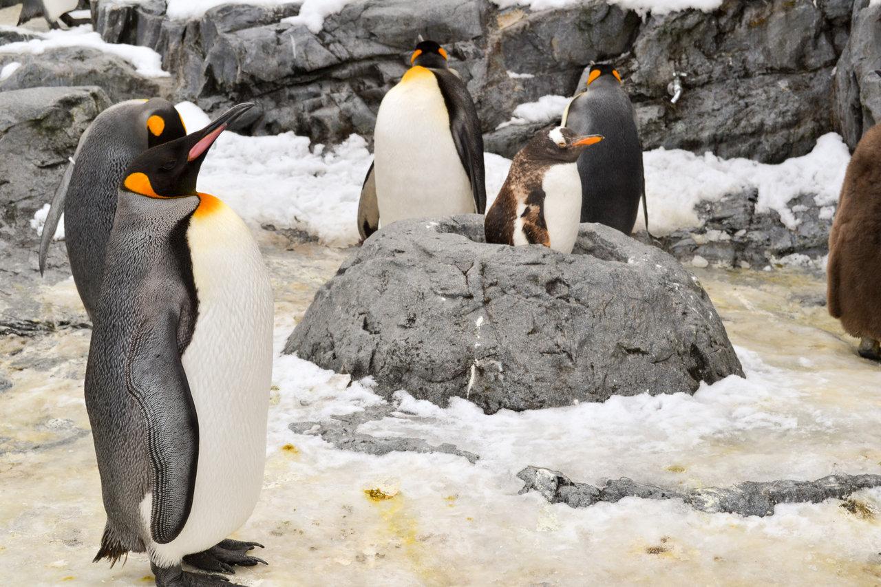 ペンギンかわええ!雪の旭山動物園に行ってきたので写真と動画を貼っていく