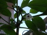 ハバネロの花