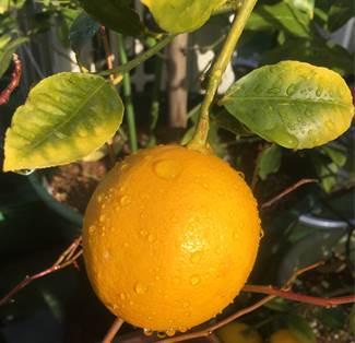 グランドレモン
