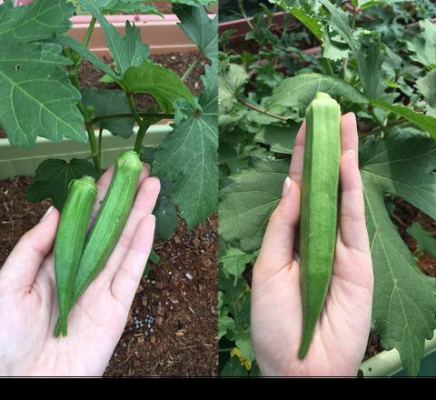 オクラ収穫大きさ比較