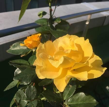 黄色のバラがキレイに開花