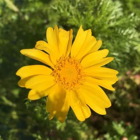 スティック春菊