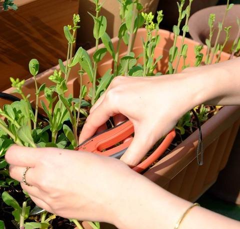 新小松菜の収穫