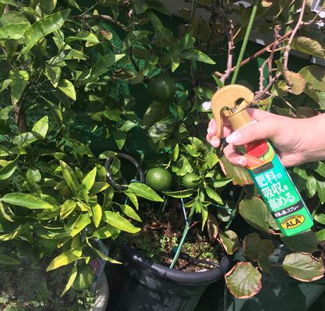 温州ミカンの葉の黄化マグネシウム不足?