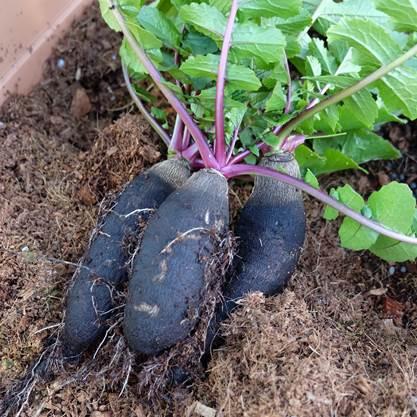 黒長大根3本収穫