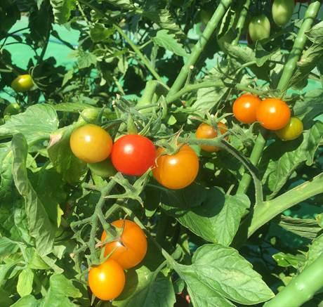 どんどん収穫できるミニトマト