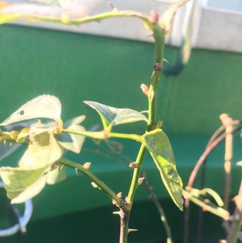 バラの新芽が続々2