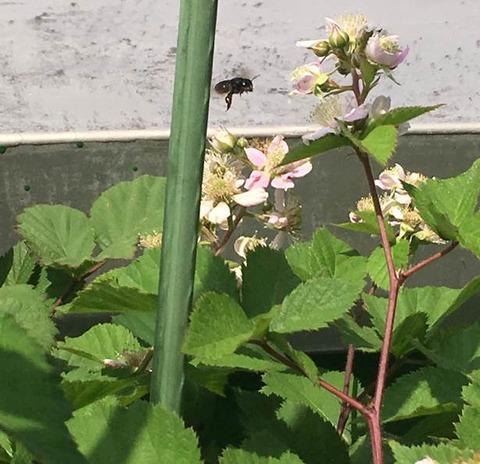 キュウイの花にハチ