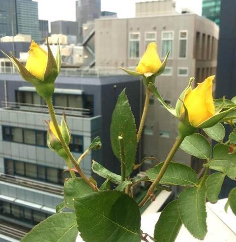 黄色いバラの蕾
