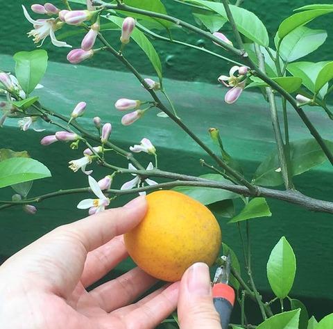 レモンの開花と収穫