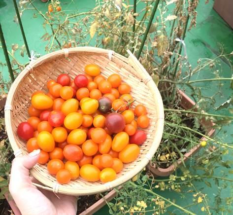 ミニトマト終盤