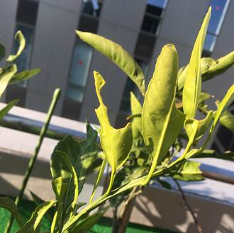 温州みかんの新芽