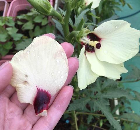 オクラの花びらも美味しい