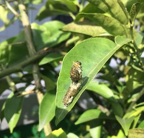 温州ミカン×アゲハの幼虫