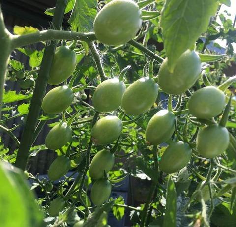 ミニトマトまだ緑でも豊作の兆し