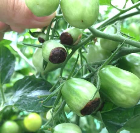尻腐れミニトマト