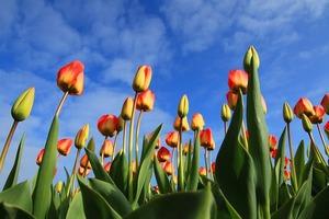 tulips-21598_640