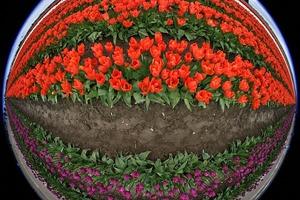 tulips-175596_640