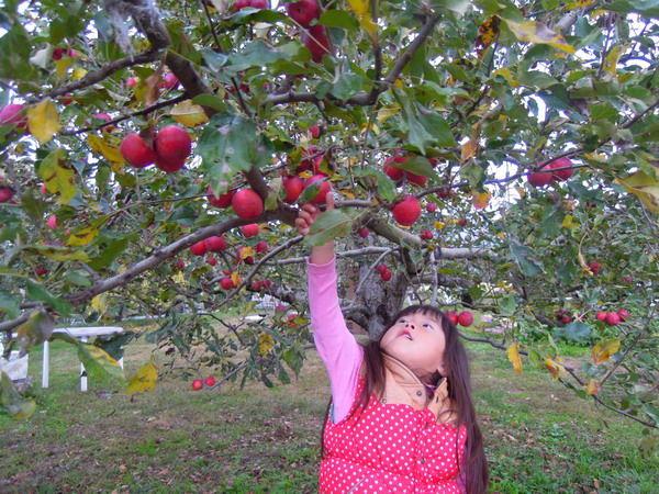 リンゴ狩り04
