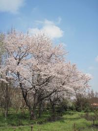 桜の下で深呼吸♪