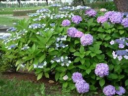 紫陽花&額紫陽花