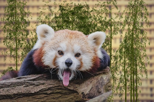 panda-3158671_1280
