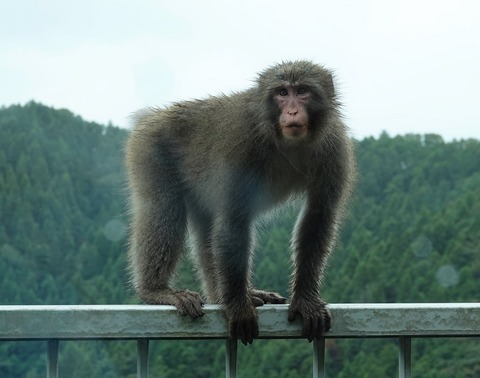 野生動物探索、宮ケ瀬湖の猿