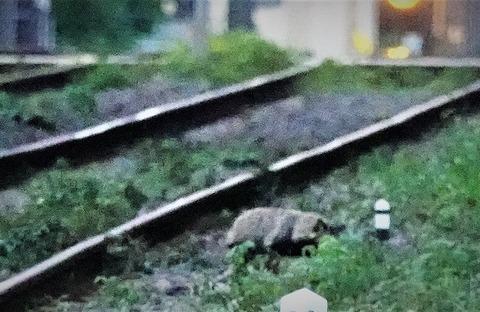 世田谷線たぬき