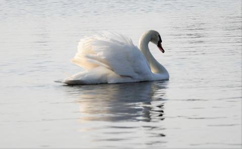 2 山中湖白鳥