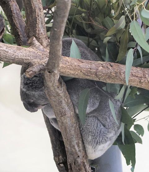 寝、コアラ