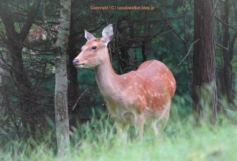 2日目山中湖鹿