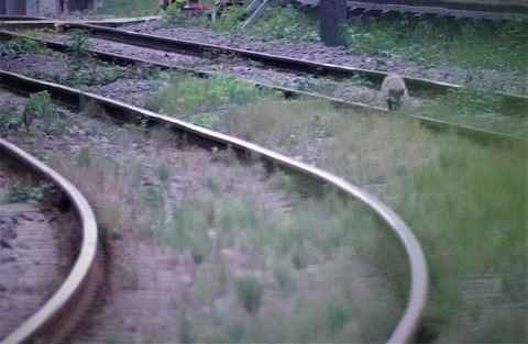 世田谷線タヌキ1