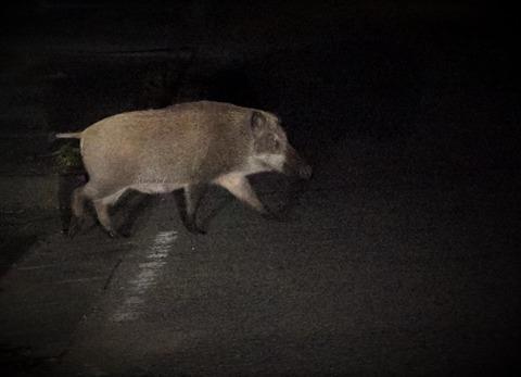 猪、もののけ