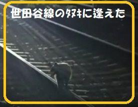 世田谷線のタヌキに逢えた