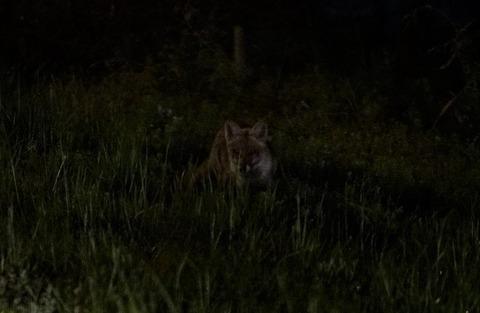 ニホン狼探し