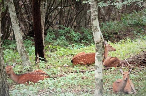 山中湖野生動物探索で鹿