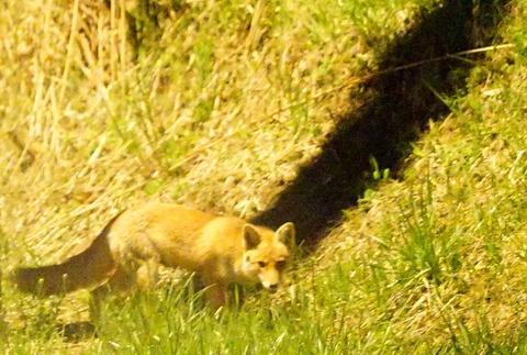 狐の影が?