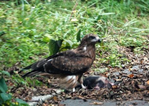 ロードキルの哺乳類を食す猛禽