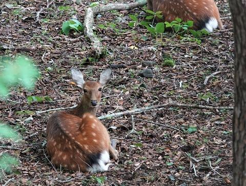 山中湖の野生動物探索で鹿